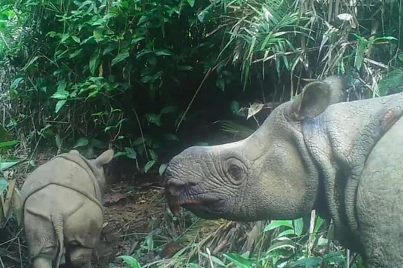 Two Extremely Rare Javan Rhinoceros Calves Spotted in Indonesian National Park