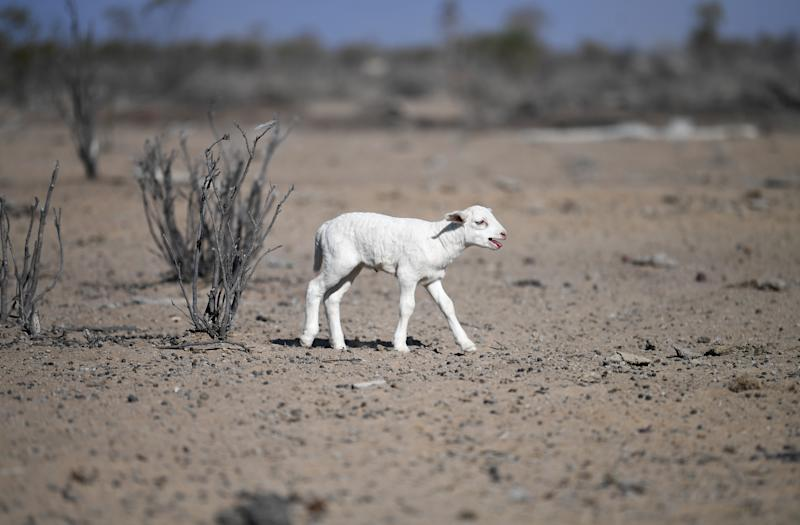 A newborn lamb is seen on a drought affected property near Bollon in southwest Queensland.