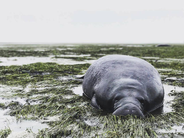<p><strong>Manatee County</strong><br> This photo provided by Michael Sechler shows a stranded manatee in Manatee County, Fla., Sept. 10, 2017. The mammal was stranded after waters receded from the Florida Bay as Hurricane Irma approached. (Photo: Michael Sechler via AP) </p>