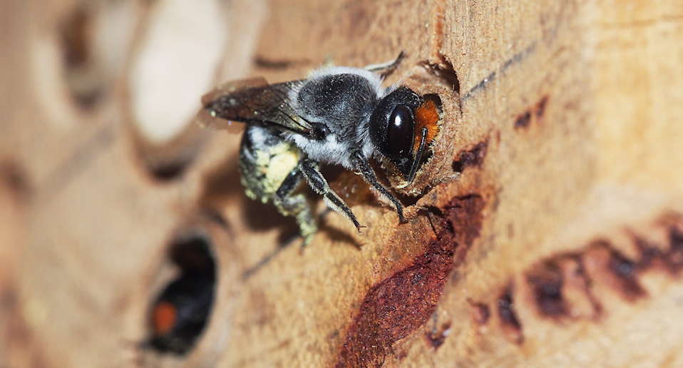 Close up of a native bee.