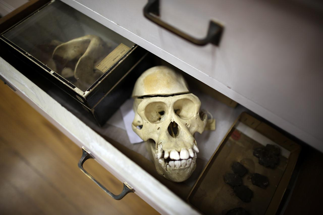 LONDON, ENGLAND - SEPTEMBER 04:  A primate skeleton is kept in a drawer with other specimens at The Grant Museum of Zoology on September 4, 2012 in London, England. Containing 67,000 specimens, the Grant Museum of Zoology is the only one of it's kind in London. Started as a teaching collection in 1828 the collection displays only about 5% of all the specimens it holds.  (Photo by Peter Macdiarmid/Getty Images)