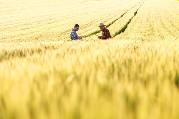 Two farmers in a wheat field