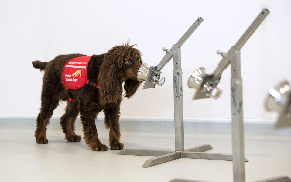 A government-backed initiative was launched in May at the London School of Hygiene and Tropical Medical (LSHTM) to intensively train up three cocker spaniels, two labradors and a labradoodle. - PA
