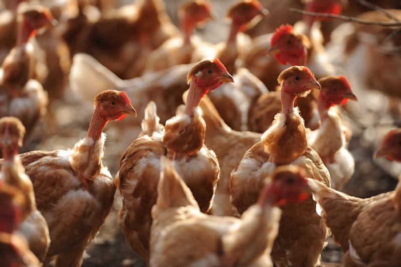 Iranian authorities said 63,000 chickens, along with 800,000 fertilised eggs and day-old chicks, were culled at a farm in Qazvin province