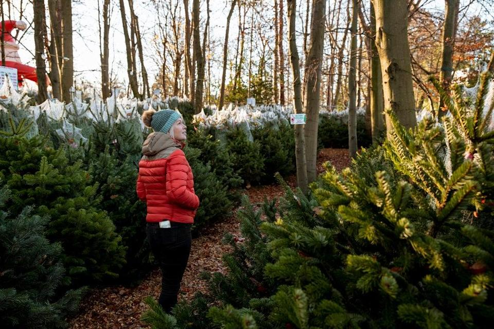 The price of Christmas trees is expected to rise this year (Getty)