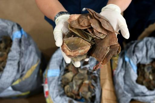 Record haul of pangolin scales seized in Malaysia