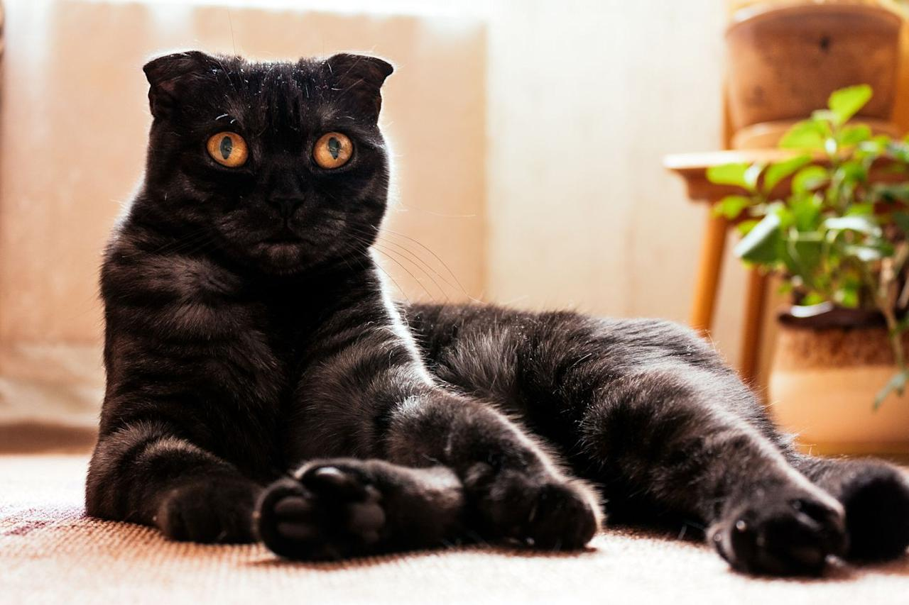 """<p>Though best known for its folded ears (<a href=""""http://www.vetstreet.com/cats/scottish-fold-highland-fold#1_ogl5pld5"""" target=""""_blank"""">which are the result of a genetic mutation</a>, according to Vet Street), the Scottish Fold can also be recognized for its rounded head and big, sweet eyes. This short-haired, medium-sized cat gets along well with everyone and loves to follow you around, so if you're looking for a little shadow, this is the breed for you. </p>"""