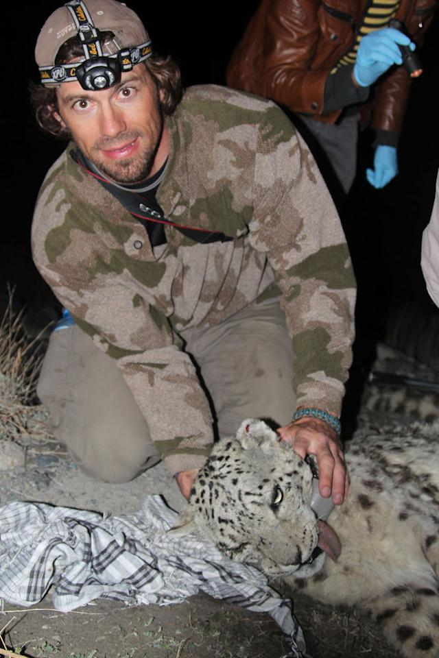 Wakhan Corridor, Afghanistan - Trapper Boone Smith with the collared and still tranquilized snow leopard in the mountains of the Wakhan Corridor in northeast Afghanistan.