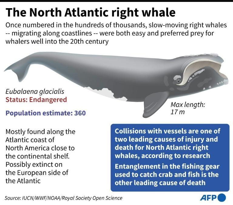 The North Atlantic right whale (AFP/Gal ROMA)