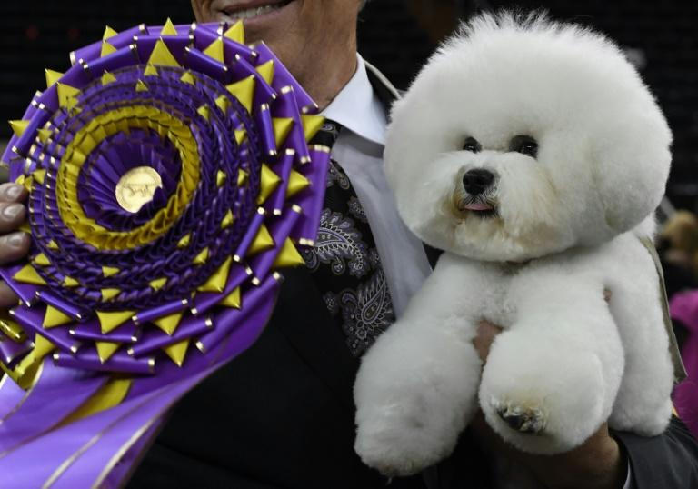 """""""Flynn"""" the Bichon Frise, with handler Bill McFadden, poses after winning """"Best in Show"""" at the Westminster Kennel Club 142nd Annual Dog Show in Madison Square Garden in New York"""