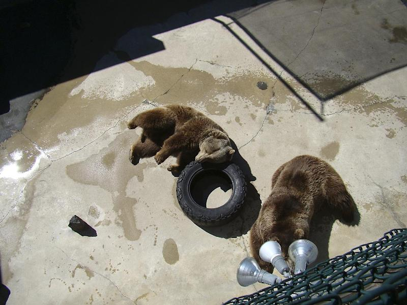 In this undated photo released by Jan Adams, Grizzly bears lie in their pen at Cherokee Bear Zoo, in Cherokee, N.C. Members of the Eastern Band of Cherokee Indians say they're planning to sue a North Carolina roadside zoo that houses bears in concrete pits on reservation land. This is the latest development in the long-running fight to close bear zoos on the reservation (AP Photo/Jan Adams)