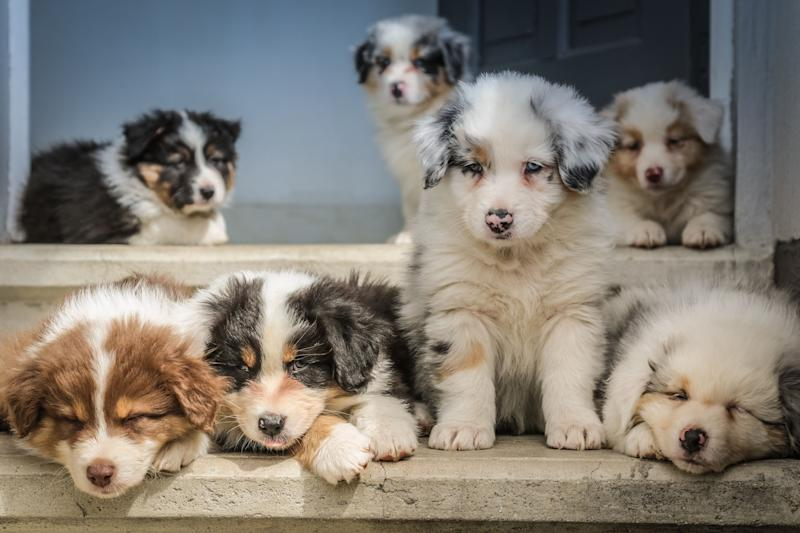 lot of tan, white, black long-haired puppies.