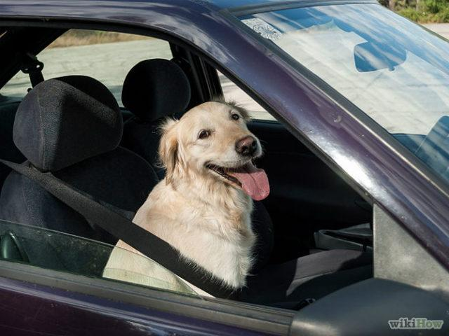 Dog sitting in car with seatbelt
