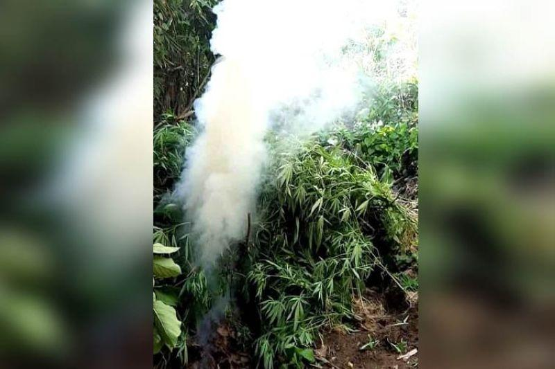Police warned to watch out for traps in marijuana plantations