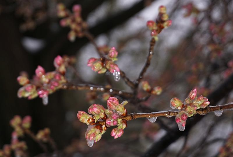 Ice-covered cherry blossoms are seen near the Potomac River on March 14, 2017 in Washington, DC