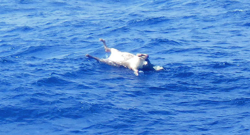 EDS NOTE: GRAPHIC CONTENT - In this photo released by the 10th Regional Japan Coast Guard Headquarters, the body of a cow floats in waters, about 120 kilometers (75 miles) northwest of Amami Oshima in the East China Sea, where rescuers have been looking for the Gulf Livestock 1 ship and its missing crew since it sent a distress signal early Wednesday, Thursday, Sept. 3, 2020. Japanese rescuers found a second crew member and multiple dead cows Friday in waters where a livestock ship capsized and sank during stormy weather two days earlier, coast guard officials said.(The 10th Regional Japan Coast Guard Headquarters via AP)