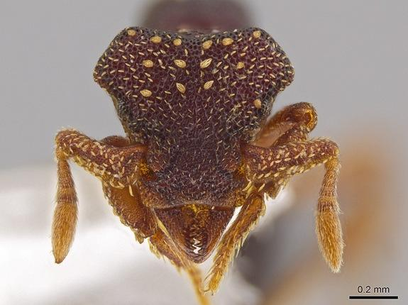 This photo shows the magnified monster-like face of the ant Eurhopalothrix zipacna, named after Zipacna, a vicious, crocodile-like demon of Mayan mythology. It's found in the mountains of Guatemala and Honduras.