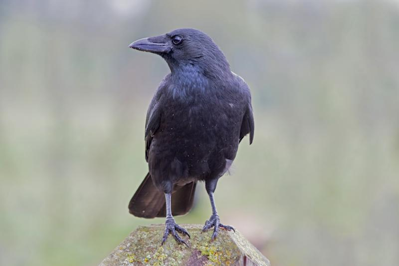 Single black Crow perched on a wooden stump
