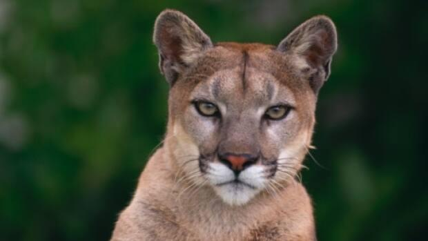 A cougar sighting in the area of a Coquitlam elementary school triggered a hold and secure situation Thursday.