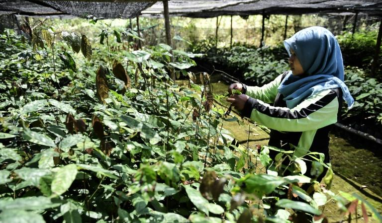 A worker takes care of seedlings given by former loggers as payment for health treatment and to be replanted in reforestation efforts in Manjau, West Kalimantan province