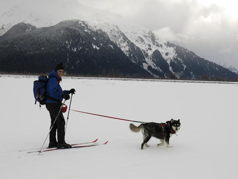 This March 3, 2013 publicity photo provided by the Alaskan Malamute Assistance League shows owner Nicole McCullough and an adopted 6-year-old female malamute, Cinder, skiing together near Portage, Alaska. Cinder was one of 213 Alaskan malamutes seized from a Montana breeder who was convicted in December 2012 of 91 counts of animal cruelty. Bob Sutherland, president of the Alaska Malamute Assistance League, and his wife, McCullough, adopted Cinder who came to them missing the tip of her ear, with broken teeth and a broken toe. (AP Photo/Alaskan Malamute Assistance League, Bob Sutherland)