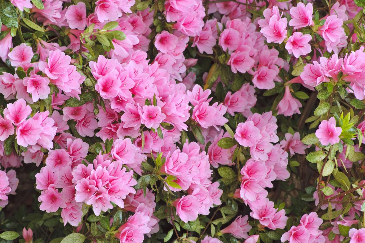 """<p><a href=""""https://www.southernliving.com/plants/rhododendron"""">Rhododendron</a> </p> <p>One of the best shade shrubs for big garden color, azaleas have bright green evergreen foliage and funnel-shaped spring and summertime flowers in shades of white, red, and pink. </p>"""