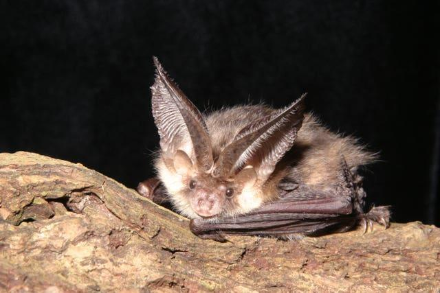 A brown long-eared bat (National Trust Images/Bat Conservation Trust/Hugh Clark/PA)