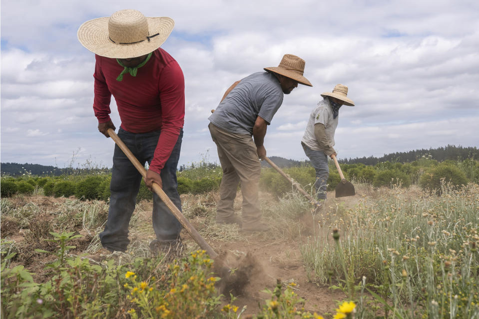 Pedro Lucas, left, nephew of farm worker Sebastian Francisco Perez who died last weekend while working in an extreme heat wave, breaks up earth, Thursday, July 1, 2021, near St. Paul, Ore. (AP Photo/Nathan Howard)