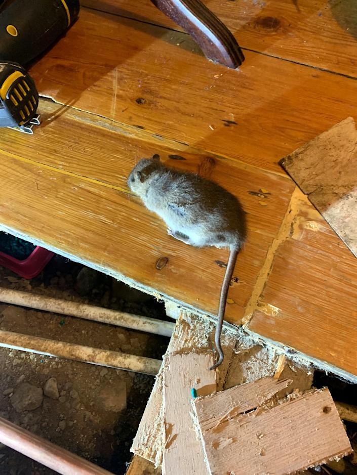 Rats have infested Laura McQueenie's home. (SWNS)