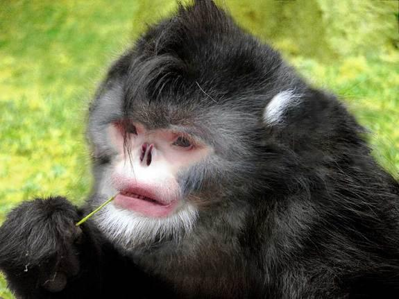 A previously unknown type of snub-nosed monkey, discovered in northern Myanmar and dubbed <em>Rhinopithecus strykeri</em>, has a nose so upturned that the animals sneeze audibly when it rains. To avoid inhaling water, the monkeys supposedly sit