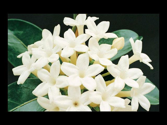 <b>Stephanotis means Joy in Married Life</b><br> Give that to your wife, and win her trust and love forever!