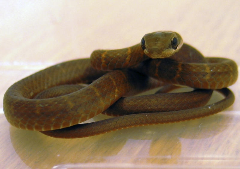 "Undated photo issued Friday Oct. 26, 2012, by the Scottish SPCA after Scottish airport staff got a slithery surprise when they stumbled on the Mexican serpent stowaway under a seat on Tuesday Oct, 23, 2012.  The Scottish Society for the Prevention of Cruelty to Animals says quick-thinking workers at Glasgow Airport remained ""remarkably calm"" when they discovered the 18-inch (45-centimeter) snake Tuesday under seats in the passenger cabin of a flight from Cancun, Mexico, and staff have named it Furtivo, Spanish for ""sneak"".(AP Photo / Scottish SPCA)"