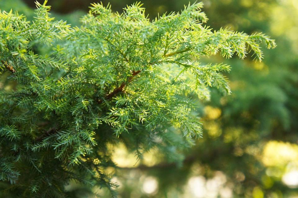 "<p>With needles that jet straight upward, Eastern Red Cedars are <strong><a href=""https://www.proflowers.com/blog/16-types-of-christmas-trees"" rel=""nofollow noopener"" target=""_blank"" data-ylk=""slk:particularly dense and green"" class=""link rapid-noclick-resp"">particularly dense and green</a></strong>. Fun fact: Despite its name, it's not actually a cedar tree — it's really a part of the juniper family.</p>"
