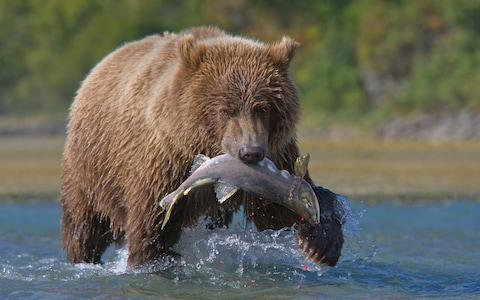 bear with salmon - Credit: Getty