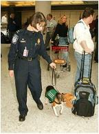 Contraband-sniffing beagle in airport