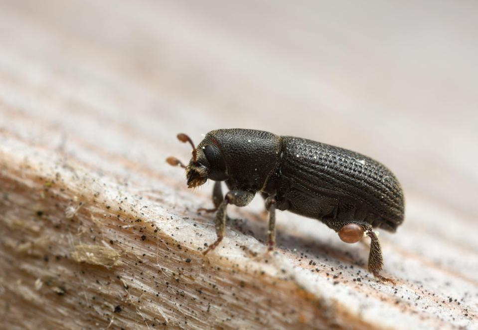 Bark beetles are a pest to forests (Getty Images/iStockphoto)