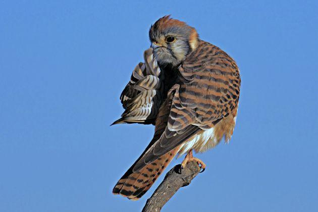 """""""Quiet Please"""" is a picture of a kestrel in Huntington Beach, California."""