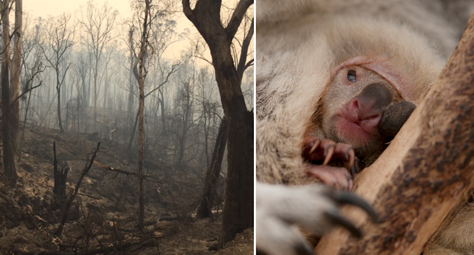 Split screen. A burnt out forest after Australian bushfires. Close up of a koala in a pouch.