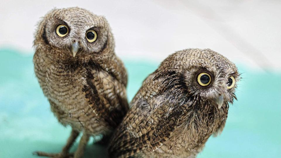 <p>Owls are one of the coolest more interesting animals on the planet and now you can <span>Learn about the mysterious life of owls at the Toucan Rescue Ranch</span> ($20).</p>