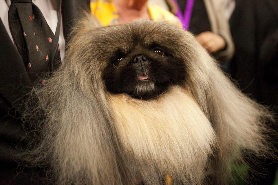 <p>We have a feeling that Malachy, a Pekingese, woke up like this. Just look at that fabulous hair!</p>