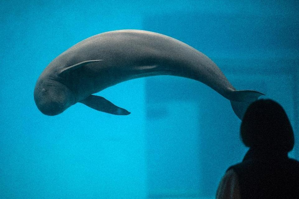 A Yangtze finless porpoise in a pool at the Baiji dolphinarium in Wuhan (AFP Photo/Johannes EISELE)