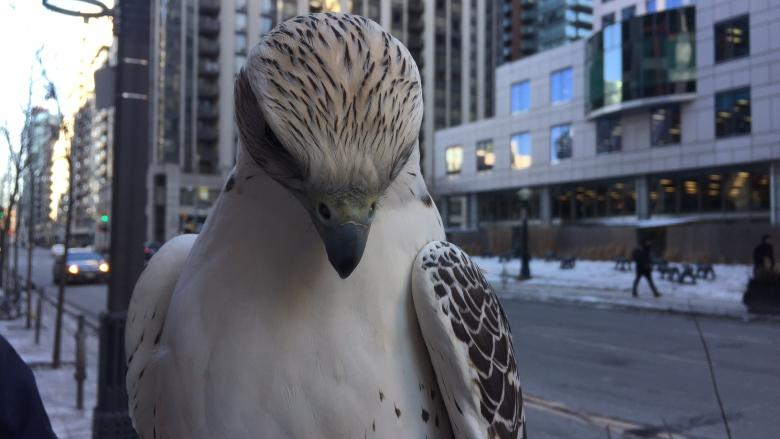 Meet Juliet, the falcon making Pearson Airport a little safer