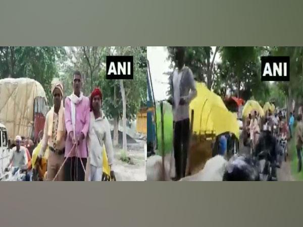 Groom, 'baratis' ride bullock carts to reach wedding venue 35 Kms away in UP's Deoria on Sunday. [Photo/ANI]