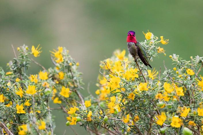 An iridescent Anna's hummingbird sits on a yellow-flowered shrub.