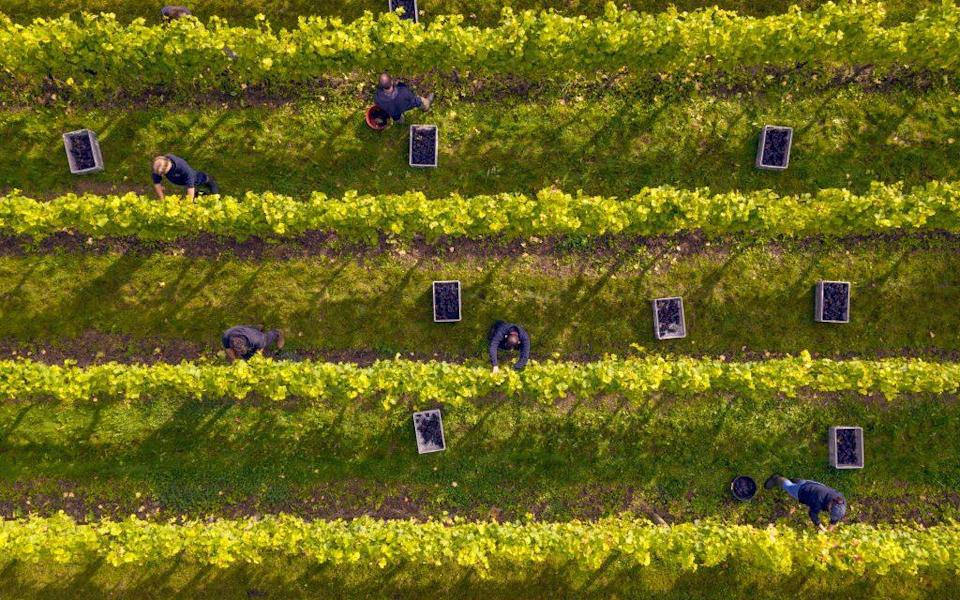 Harvest time at the Nyetimber vineyard - Getty
