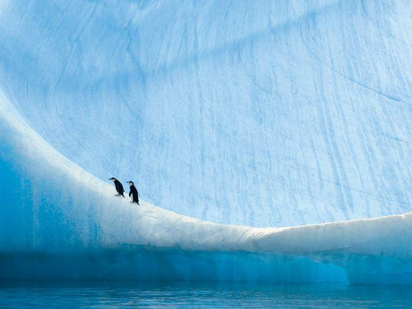 Young chinstrap penguins rest on an iceberg near Anvers Island, Antarctica. These penguins, which rely less on sea ice than other species do for their survival, have thrived as climate change has warmed the ocean around Antarctica.