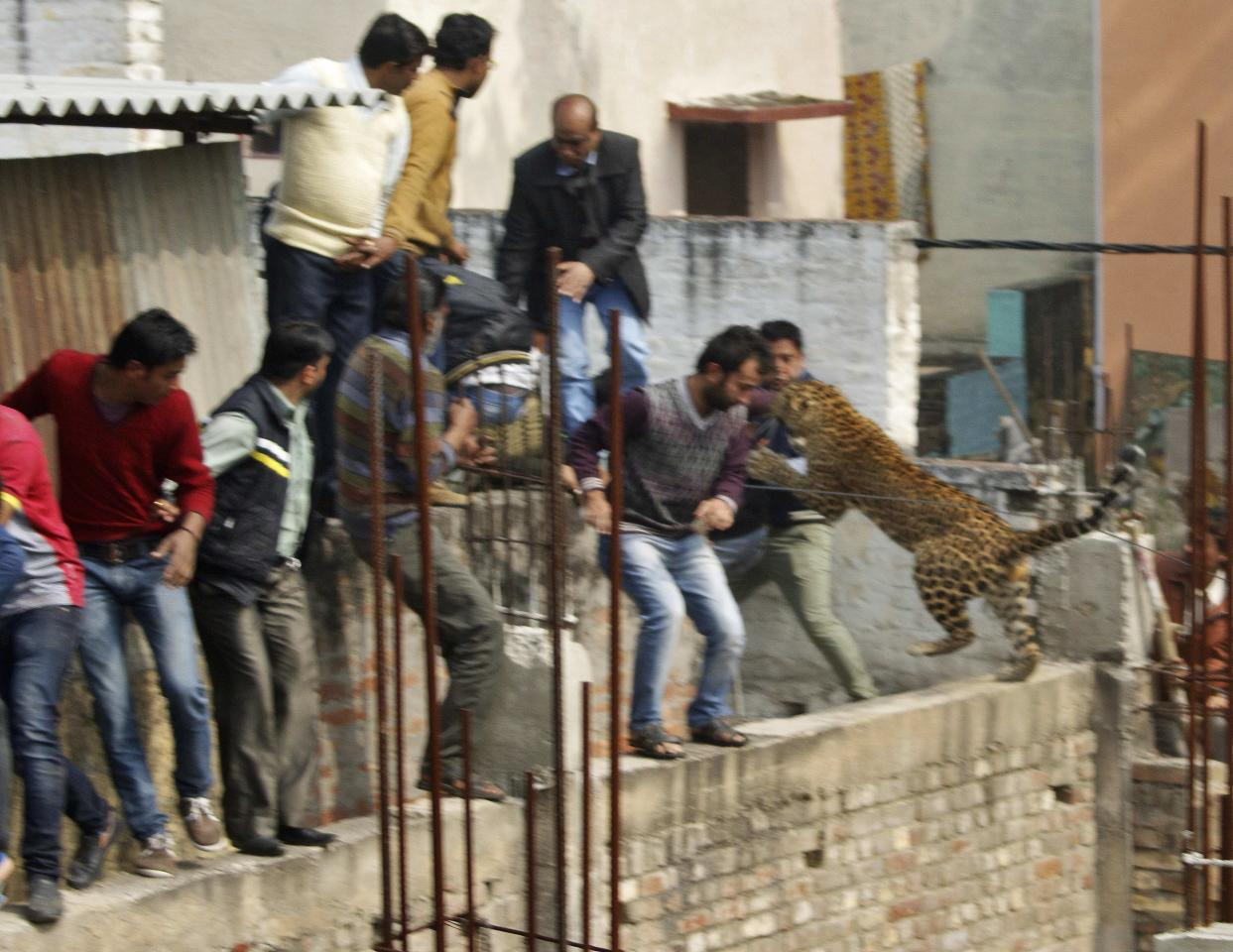 A leopard jumps at people at a structure undergoing construction at a residential area in Meerut