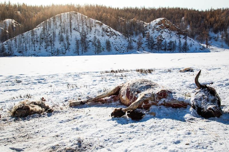 Dead animals lie in the snow following severe weather in Khuvsgul province, northern Mongolia, in a photo taken on February 13, 2017 and released by the International Federation of Red Cross and Red Crescent Societies (IFRC) (AFP Photo/Mirva HELENIUS)