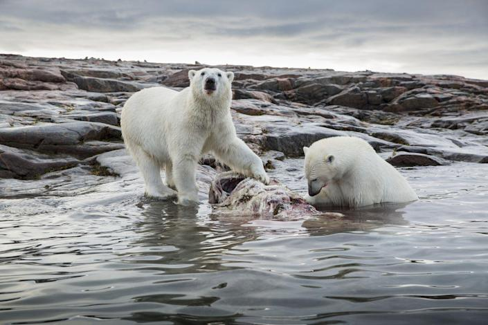 """<p>Polar bears have a tough time when it comes to hunting. Their hunting expeditions have a failure rate of more than 98 percent. Their main sources of food are seals but they've been known to also eat <a href=""""https://www.wwf.org.uk/learn/fascinating-facts/polar-bears"""" rel=""""nofollow noopener"""" target=""""_blank"""" data-ylk=""""slk:small mammals, birds, and eggs"""" class=""""link rapid-noclick-resp"""">small mammals, birds, and eggs</a>.</p>"""