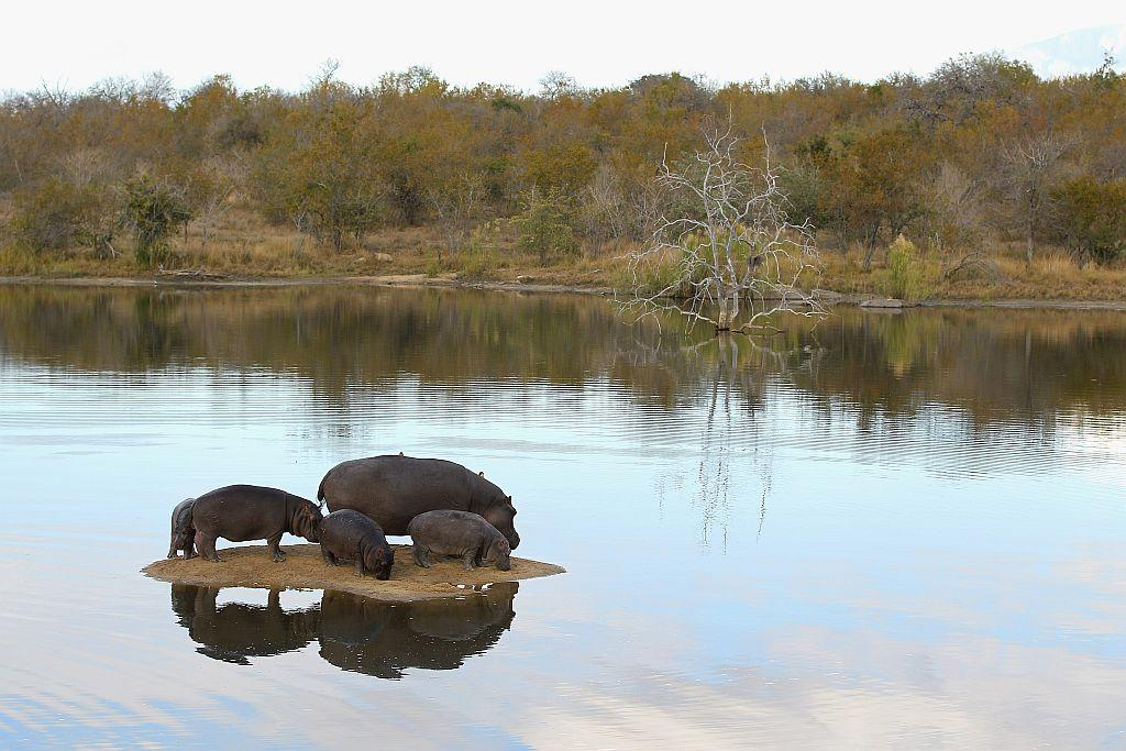 Hippopotamuses relax on a sand island in Edeni Game Reserve near Kruger National Park in South Africa.